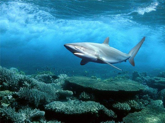 шелковистая акула, Красное море, Египет / Silky Shark, Red Sea, Egypt