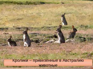 Саванны и редколесья. Животные. Macropus giganteus – самый крупный кенгуру Ва