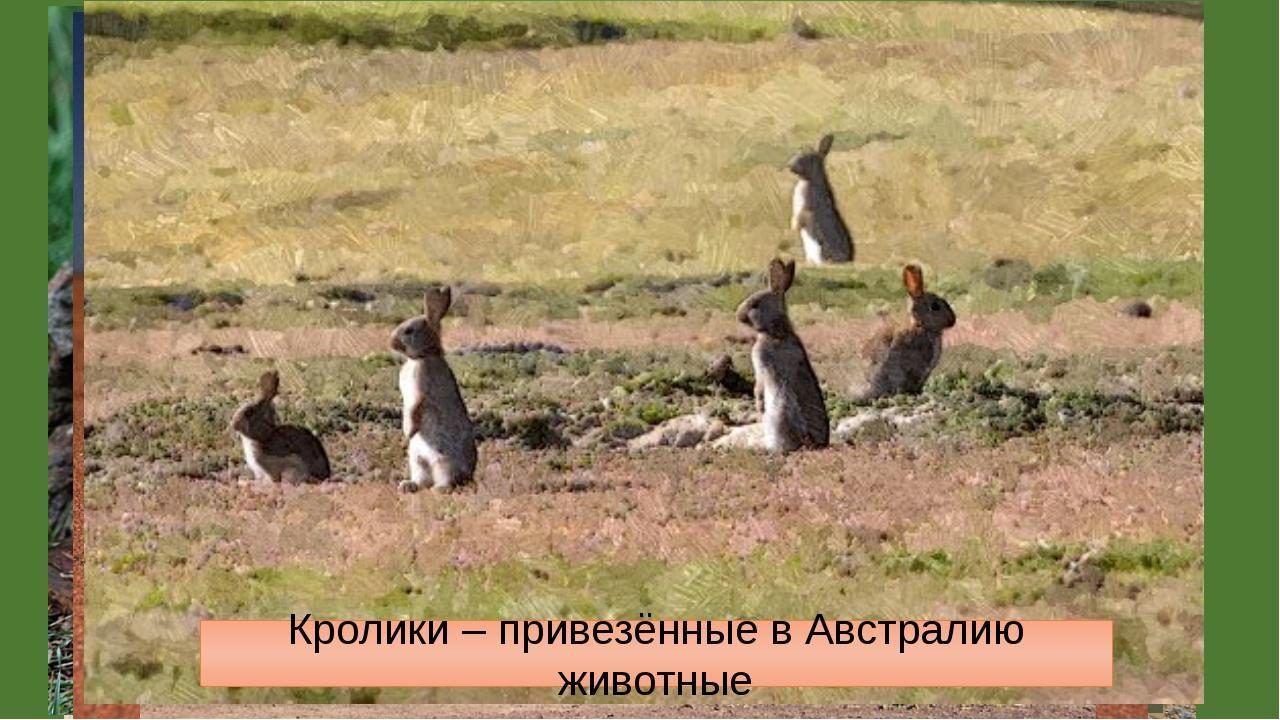 Саванны и редколесья. Животные. Macropus giganteus – самый крупный кенгуру Ва...