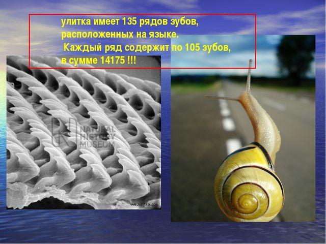 улитка имеет 135 рядов зубов, расположенных на языке. Каждый ряд содержит по...
