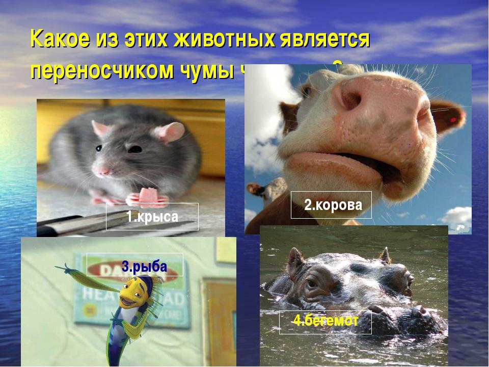 Какое из этих животных является переносчиком чумы человека? 1.крыса 2.корова...
