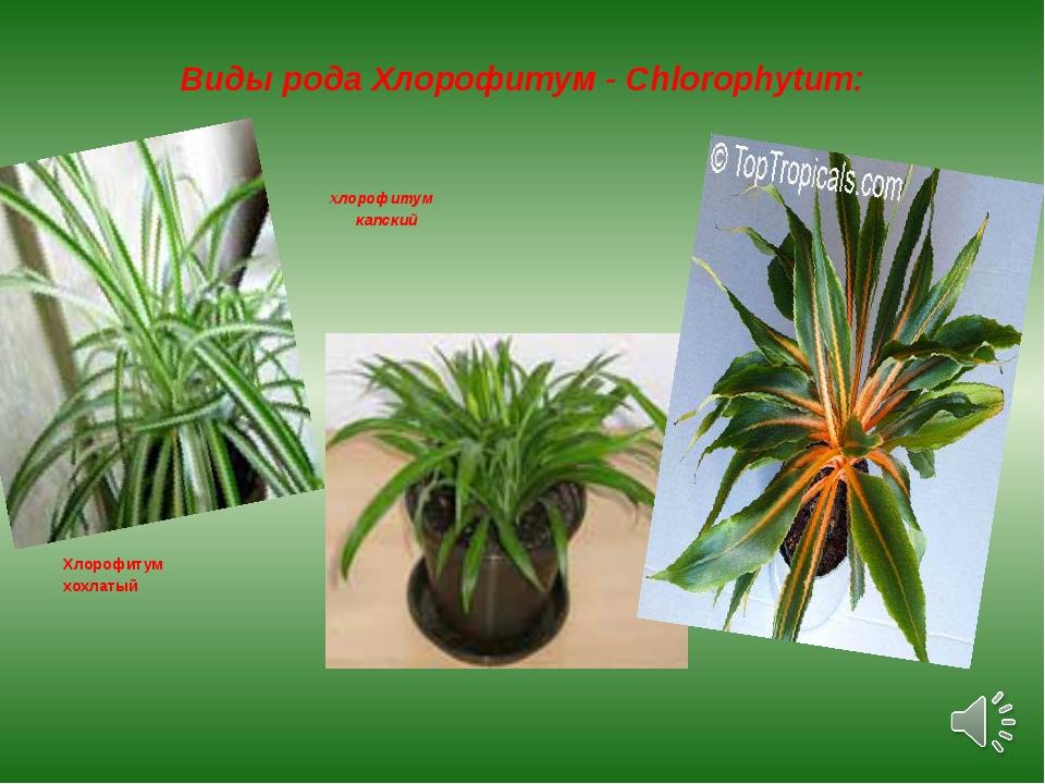 Виды рода Хлорофитум - Chlorophytum: хлорофитум капский Хлорофитум хохлатый х...