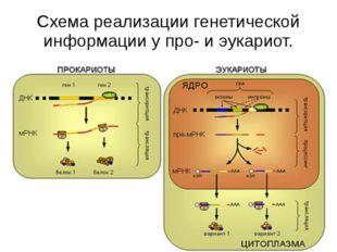 Схема реализации генетической информации у про- и эукариот. У прокариот синте