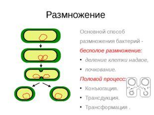 Размножение Основной способ размножения бактерий - бесполое размножение: деле