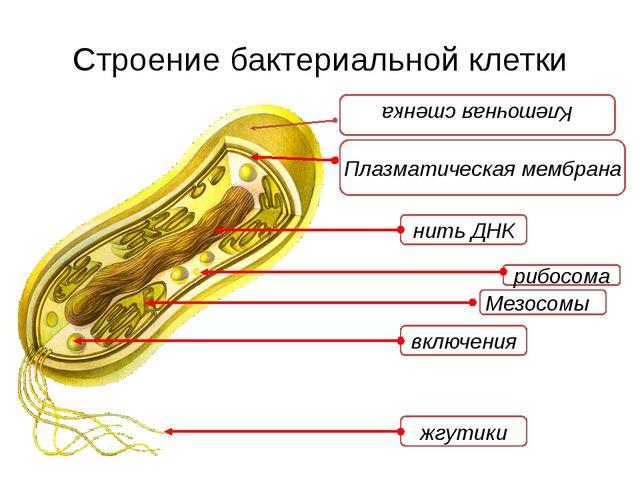 Строение бактериальной клетки Плазматическая мембрана нить ДНК жгутики включе...