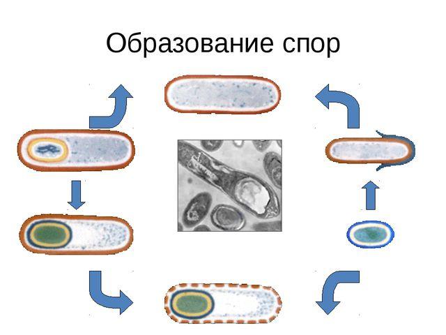 Образование спор При неблагоприятных условиях бактерия покрывается плотной об...