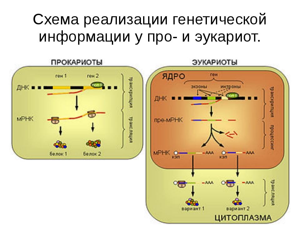 Схема реализации генетической информации у про- и эукариот. У прокариот синте...