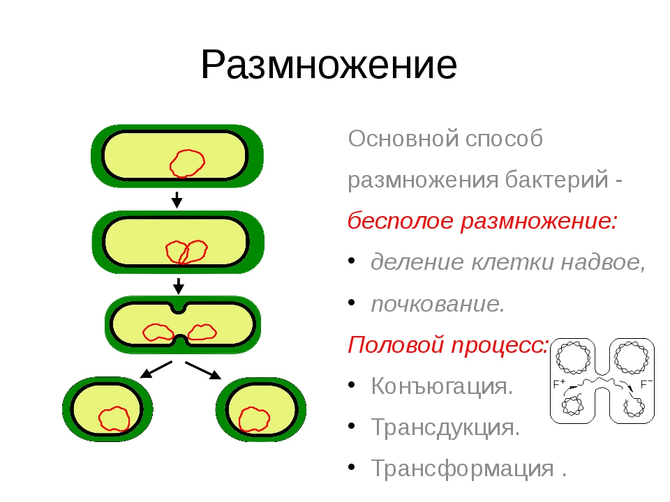 Размножение Основной способ размножения бактерий - бесполое размножение: деле...