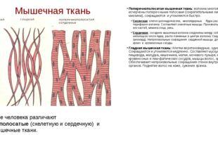 Мышечная ткань Поперечнополосатая мышечная ткань: волокна многоядерные, исчер