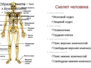 Скелет человека Скелет головы (череп) Мозговой отдел Лицевой отдел Скелет тул