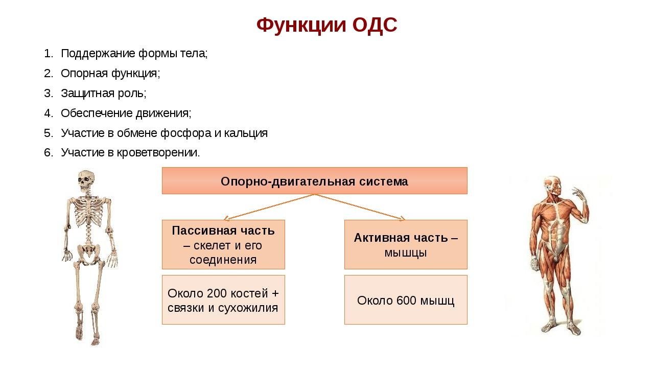 Функции ОДС Поддержание формы тела; Опорная функция; Защитная роль; Обеспечен...