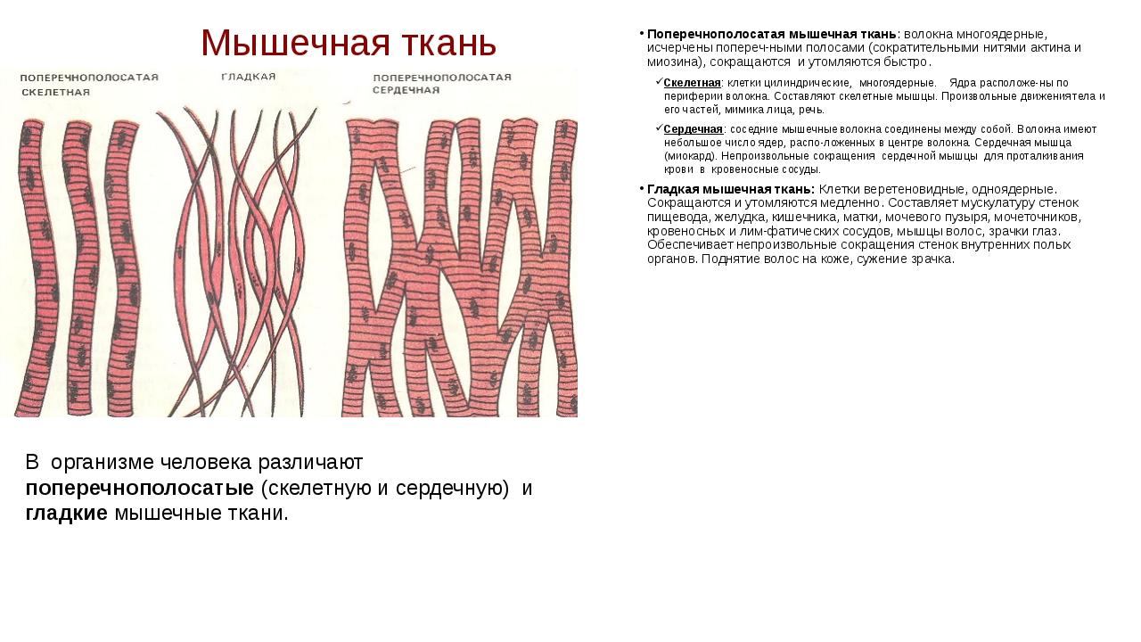Мышечная ткань Поперечнополосатая мышечная ткань: волокна многоядерные, исчер...