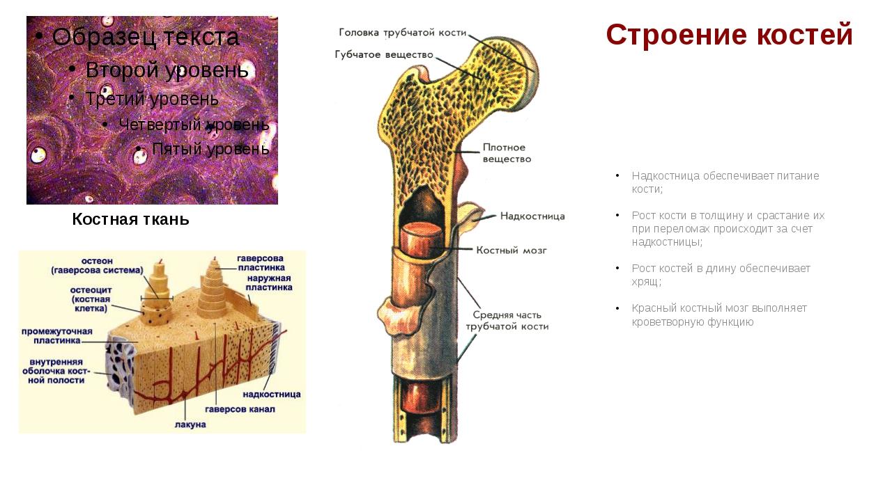 Строение костей Надкостница обеспечивает питание кости; Рост кости в толщину...