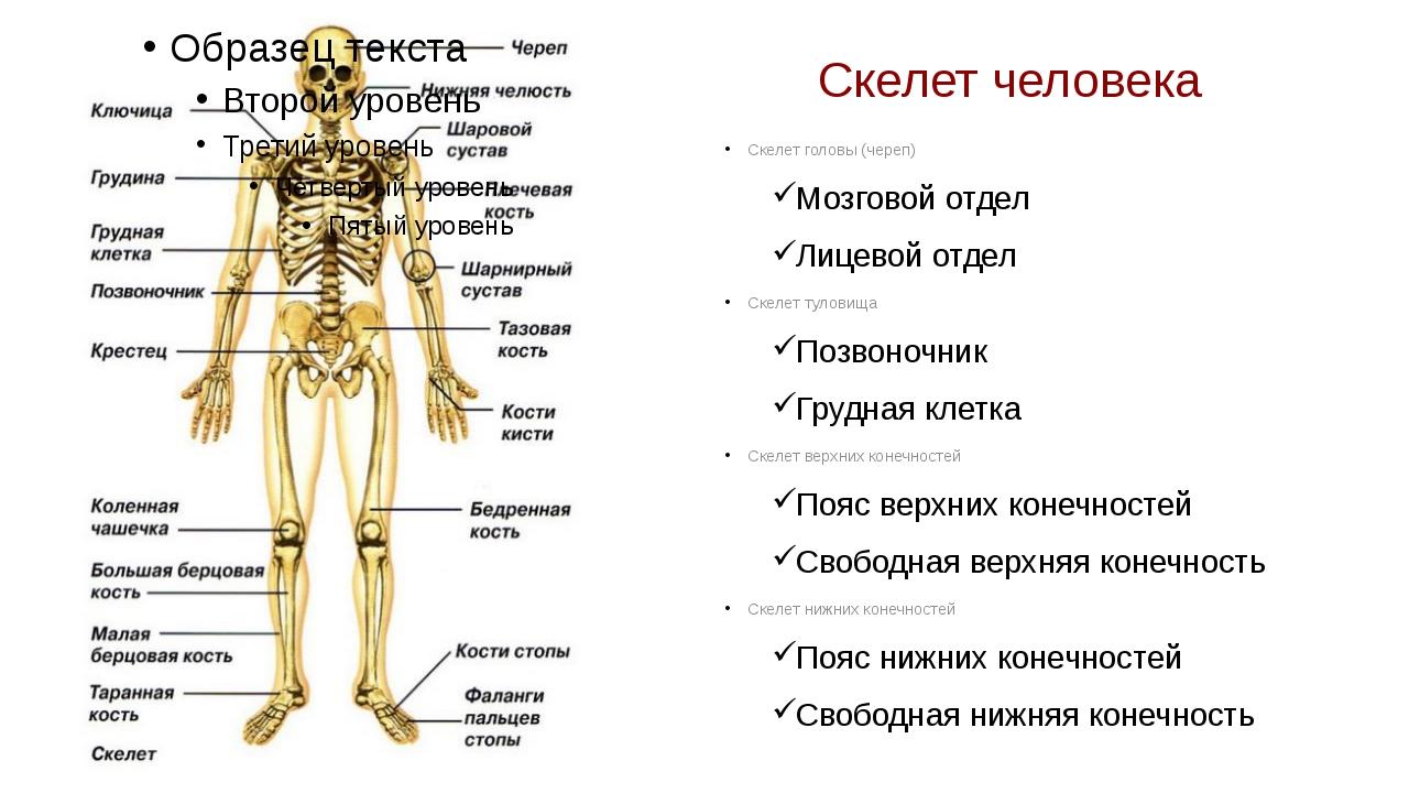 Скелет человека Скелет головы (череп) Мозговой отдел Лицевой отдел Скелет тул...