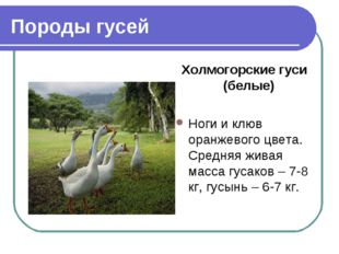 Породы гусей Холмогорские гуси (белые) Ноги и клюв оранжевого цвета. Средняя
