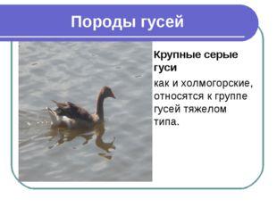 Породы гусей Крупные серые гуси как и холмогорские, относятся к группе гусей