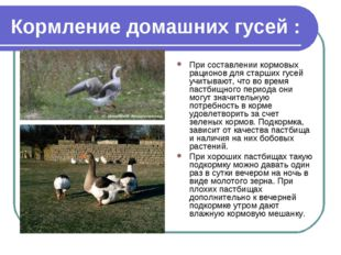 Кормление домашних гусей : При составлении кормовых рационов для старших гусе