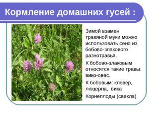 Кормление домашних гусей : Зимой взамен травяной муки можно использовать сено