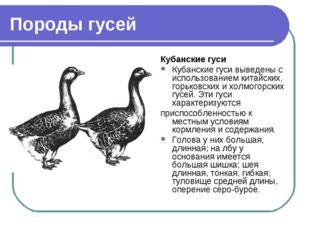 Породы гусей Кубанские гуси Кубанские гуси выведены с использованием китайски