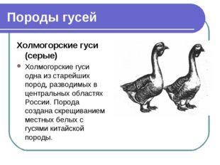 Породы гусей Холмогорские гуси (серые) Холмогорские гуси одна из старейших по