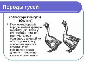 Породы гусей Холмогорские гуси (белые) Гуси холмогорской породы имеют крепкую