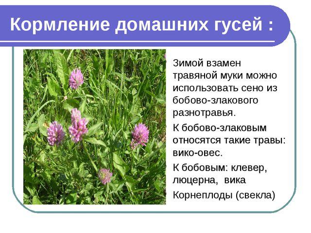 Кормление домашних гусей : Зимой взамен травяной муки можно использовать сено...