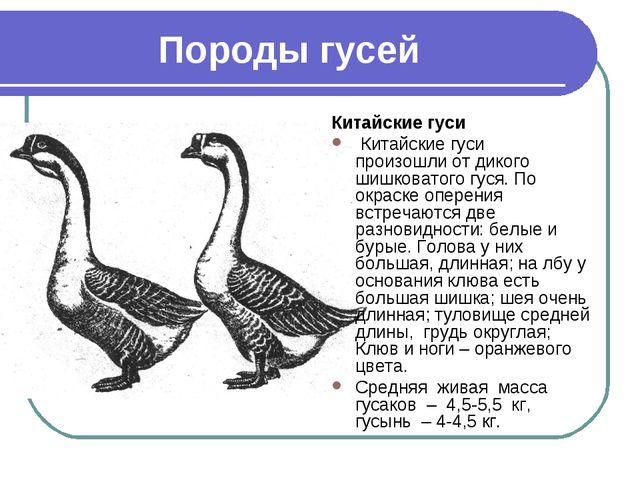 Породы гусей Китайские гуси Китайские гуси произошли от дикого шишковатого гу...