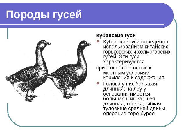 Породы гусей Кубанские гуси Кубанские гуси выведены с использованием китайски...