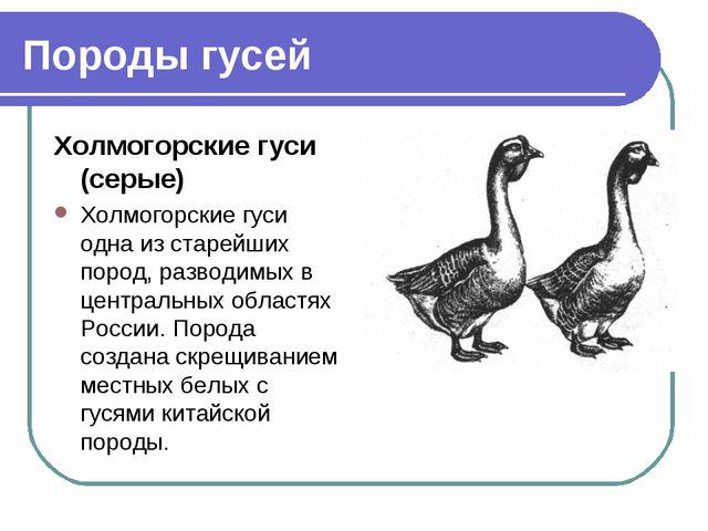 Породы гусей Холмогорские гуси (серые) Холмогорские гуси одна из старейших по...