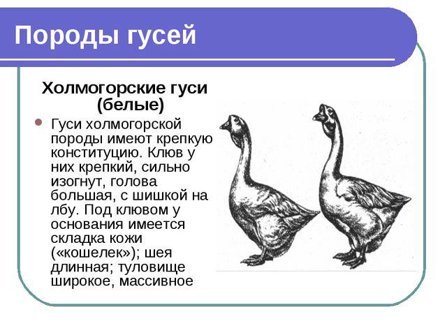 Породы гусей Холмогорские гуси (белые) Гуси холмогорской породы имеют крепкую...