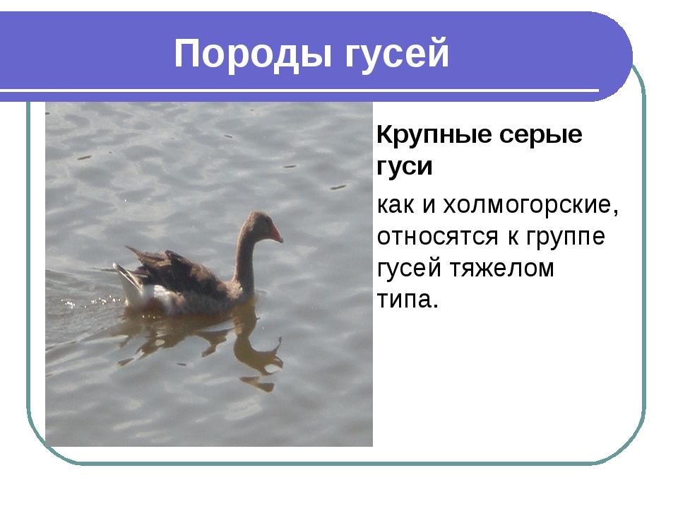 Породы гусей Крупные серые гуси как и холмогорские, относятся к группе гусей...