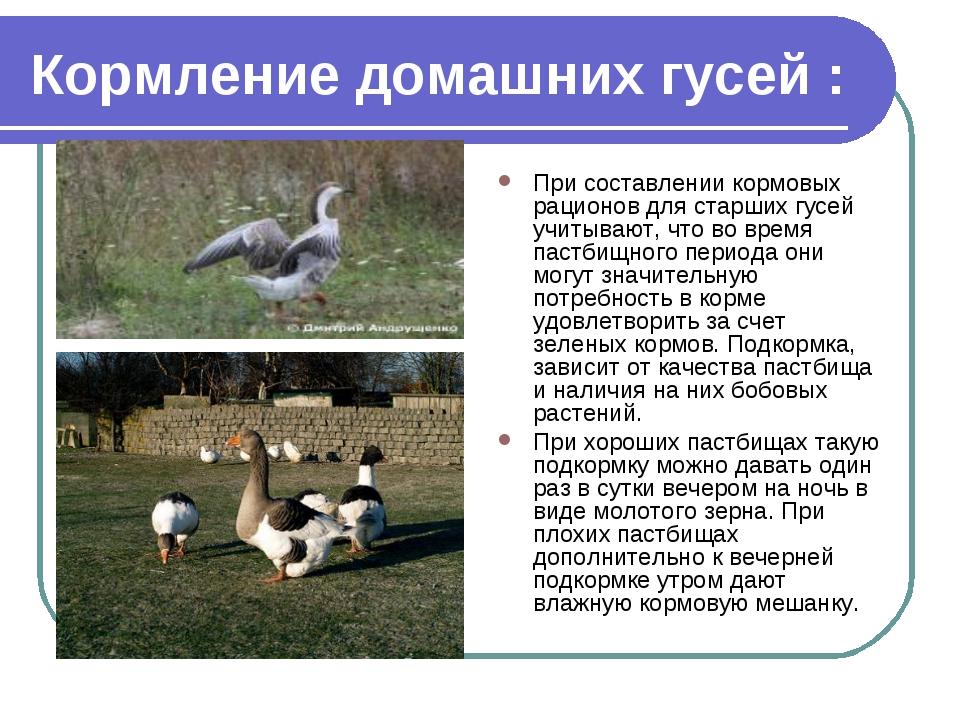 Кормление домашних гусей : При составлении кормовых рационов для старших гусе...