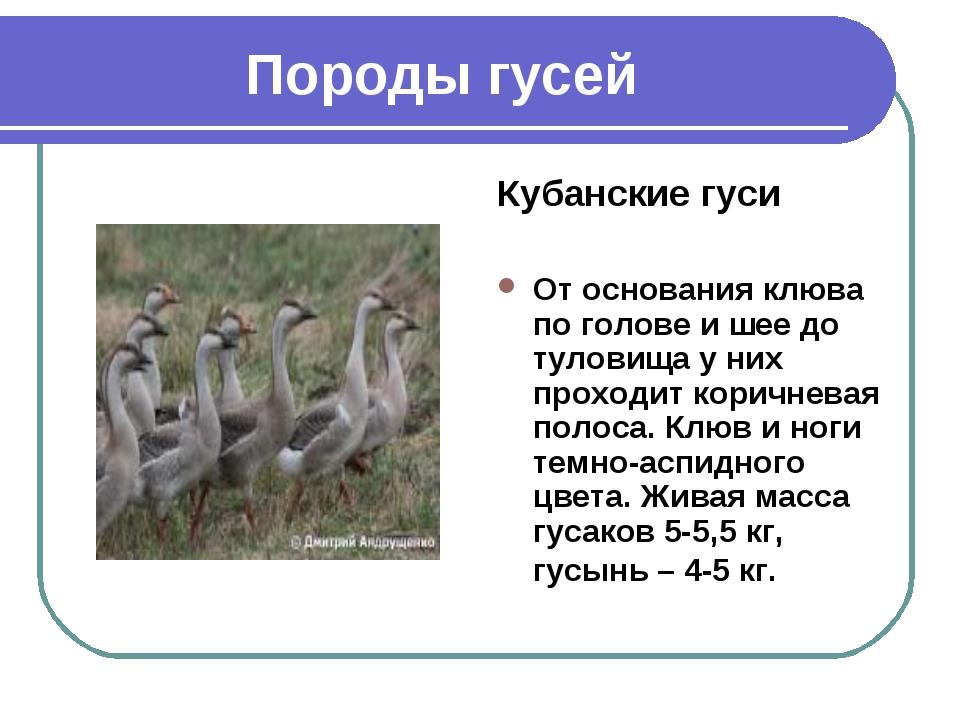 Породы гусей Кубанские гуси От основания клюва по голове и шее до туловища у...