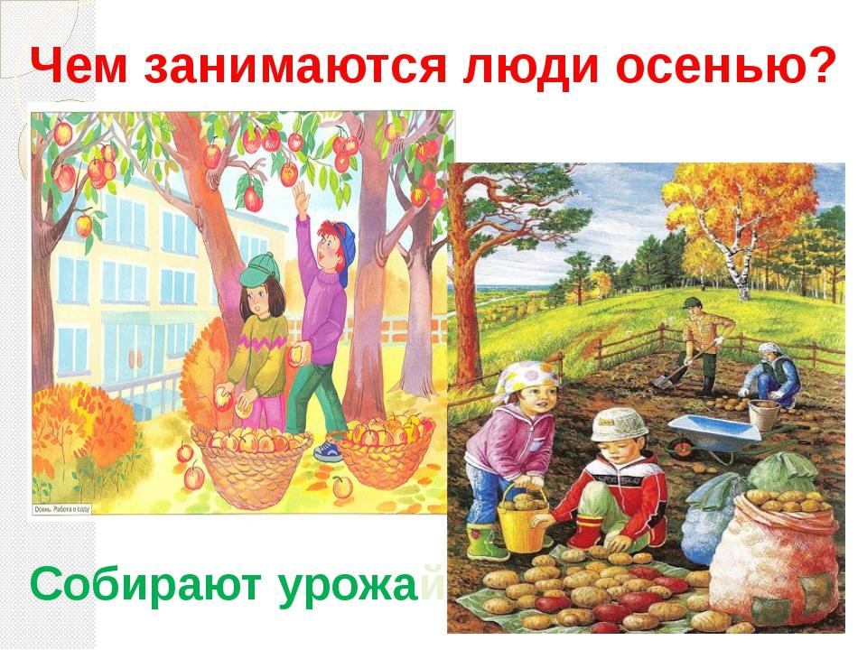 Чем занимаются люди осенью? Собирают урожай