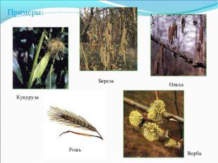 Кукуруза Береза Ольха Верба Примеры: Рожь