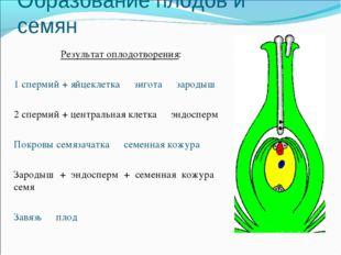 Образование плодов и семян Результат оплодотворения: 1 спермий + яйцеклетка ↣