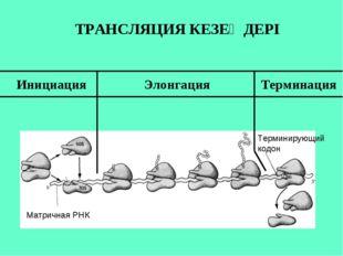 Матричная РНК Терминирующий кодон Инициация Элонгация Терминация ТРАНСЛЯЦИЯ К