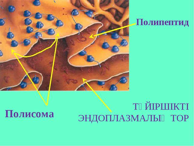 Полисома Полипептид ТҮЙІРШІКТІ ЭНДОПЛАЗМАЛЫҚ ТОР