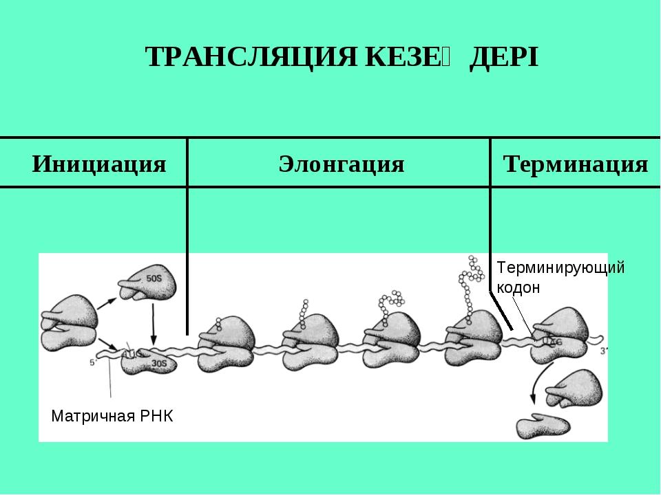 Матричная РНК Терминирующий кодон Инициация Элонгация Терминация ТРАНСЛЯЦИЯ К...