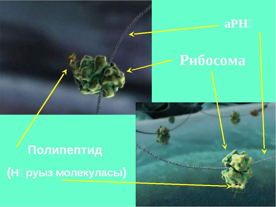 Рибосома Полипептид (Нәруыз молекуласы) аРНҚ