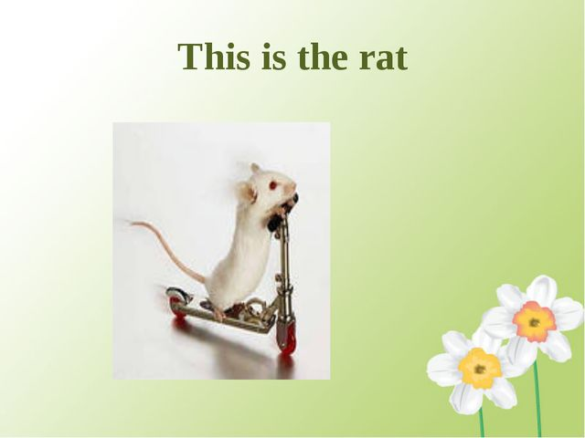 This is the rat