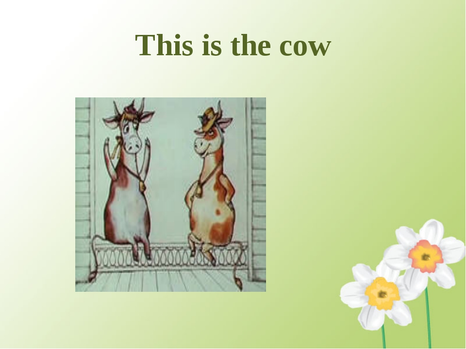 This is the cow