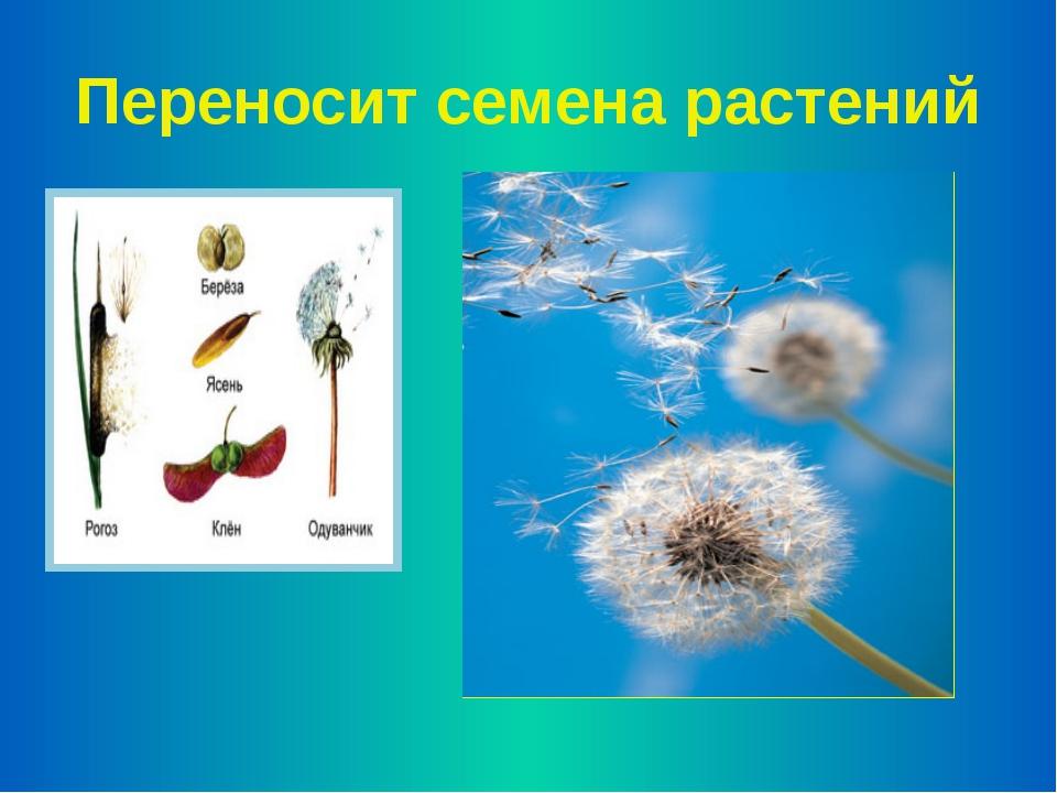 Переносит семена растений
