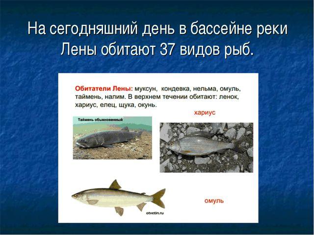 На сегодняшний день в бассейне реки Лены обитают 37 видов рыб.