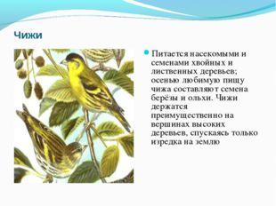 Чижи Питается насекомыми и семенами хвойных и лиственных деревьев; осенью люб