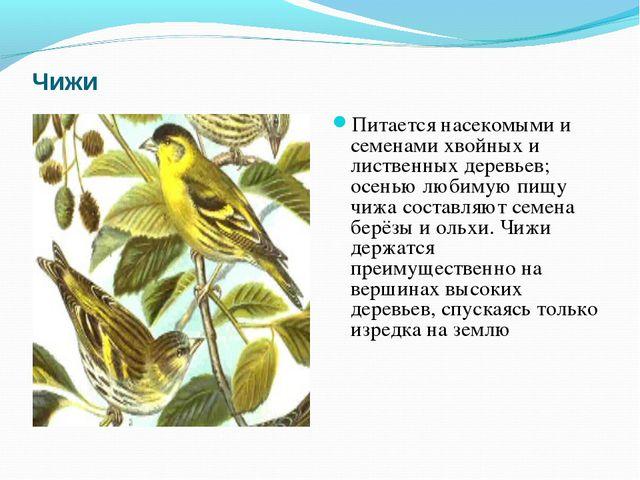 Чижи Питается насекомыми и семенами хвойных и лиственных деревьев; осенью люб...