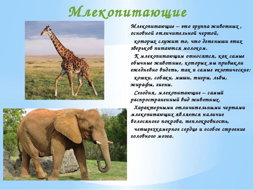 Млекопитающие – это группа животных , основной отличительной чертой, которых...