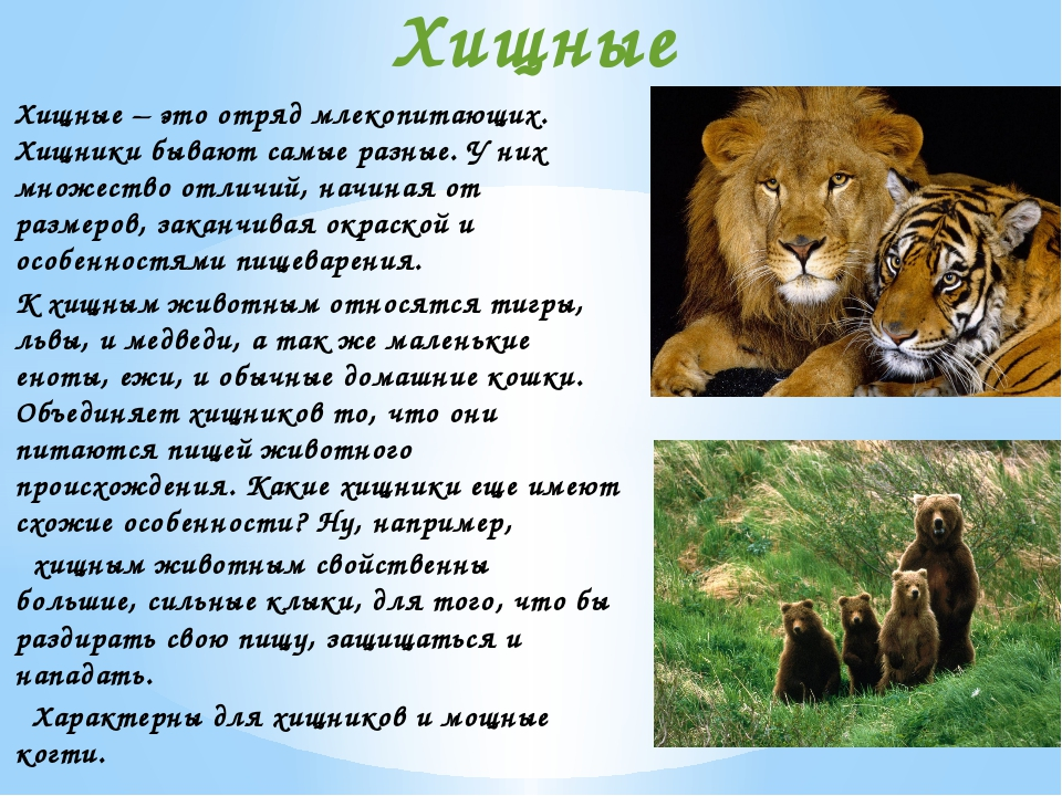 Хищные – это отряд млекопитающих. Хищники бывают самые разные. У них множеств...
