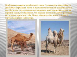 Верблюда называют кораблем пустыни. Существуют одногорбые и двугорбые верблюд