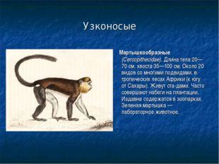 Узконосые Мартышкообразные (Cercopithecidae). Длина тела 20—70 см, хвоста 35—